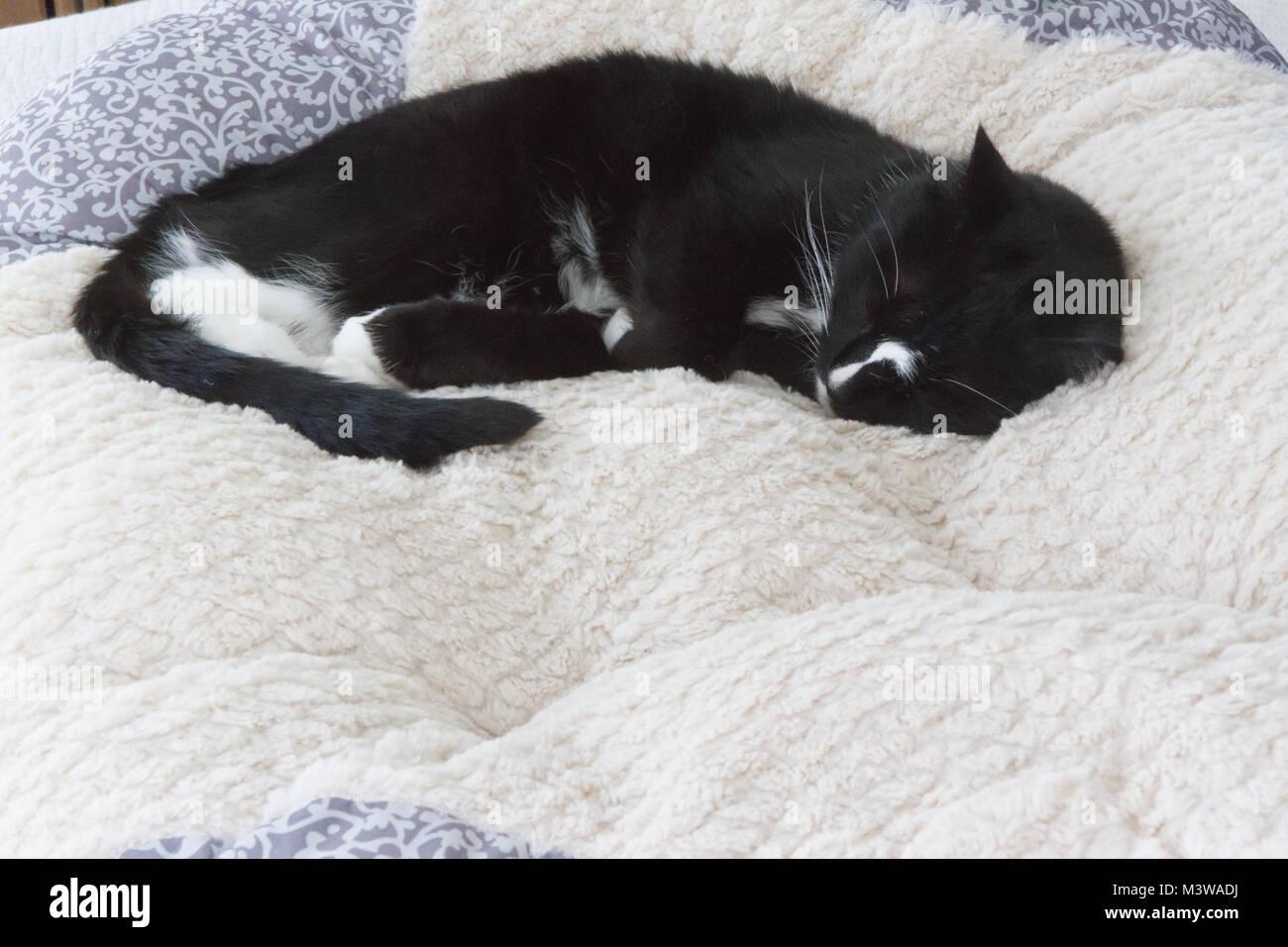 Black and White Tuxedo cat asleep on top of fluffy white blanket. Cat in fetal position. Room for copy on blanket - Stock Image