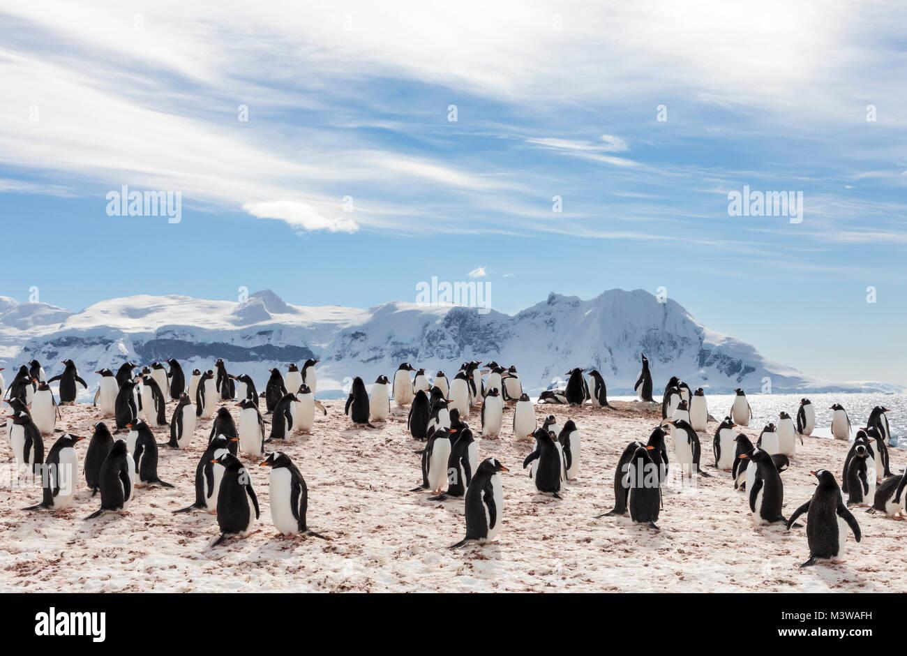 Long-tailed Gentoo penguin; Pygoscelis papua; Rongé Island; Arctowski Peninsula; Antarctica Stock Photo