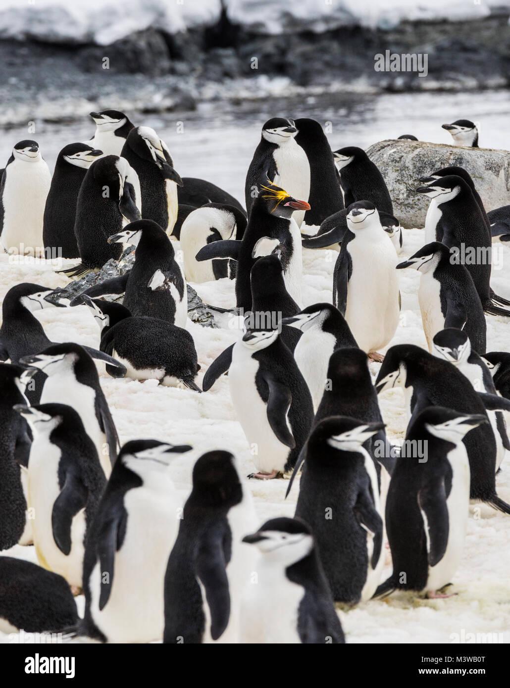 Lone Macaroni Penguin on rookery with Chinstrap Penguins; Pygoscelis antarcticus; ringed penguin; bearded penguin; - Stock Image