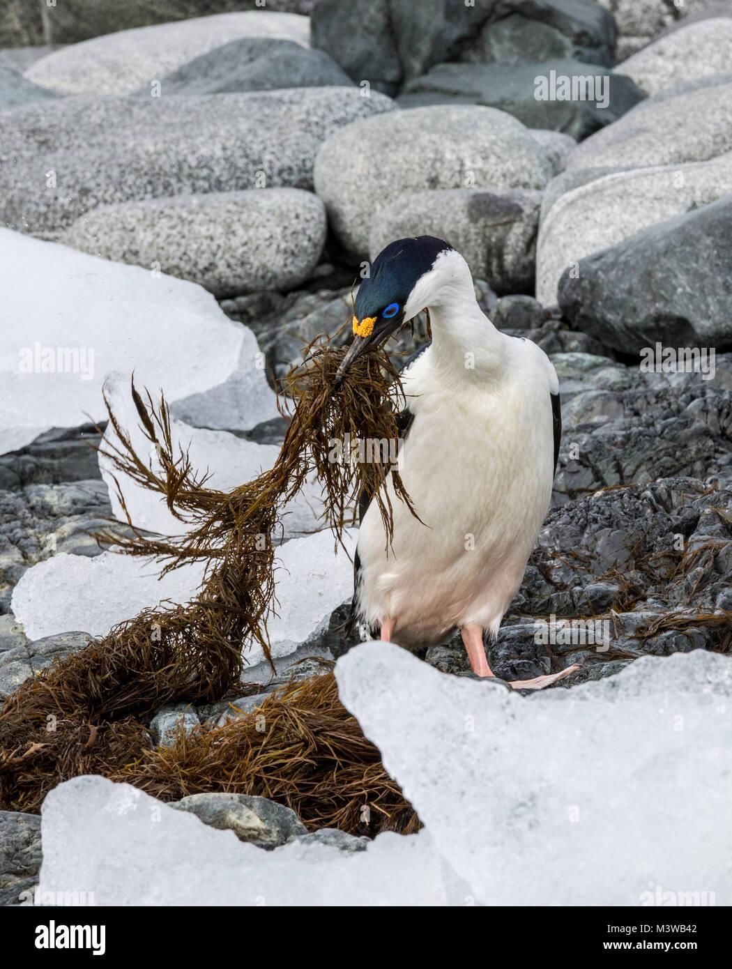 Cormorant; Antarctic shag; Leucocarbo bransfieldensis; blue-eyed shag; bird; gathering seaweed for nest; Half Moon - Stock Image