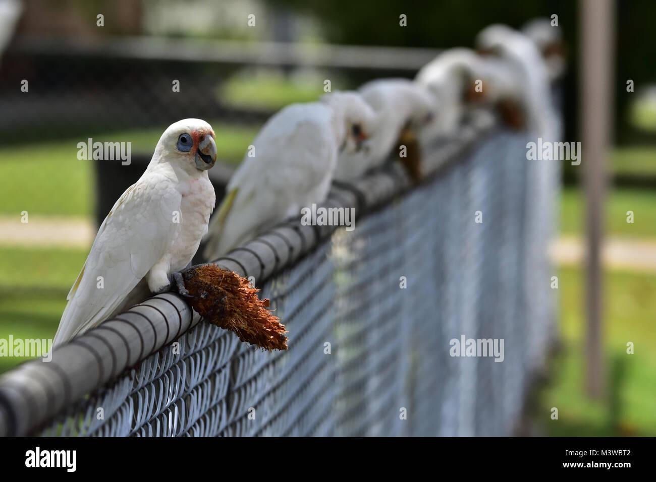 Australian Little Corellas eating a Pine Cone seed - Stock Image