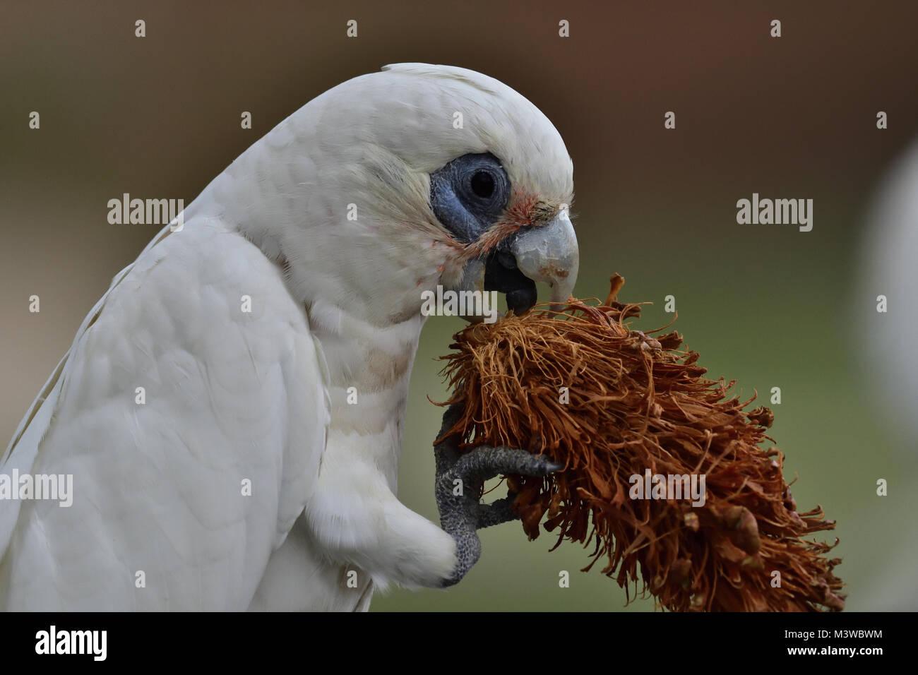 An Australian Little Corella eating a Pine Cone seed - Stock Image