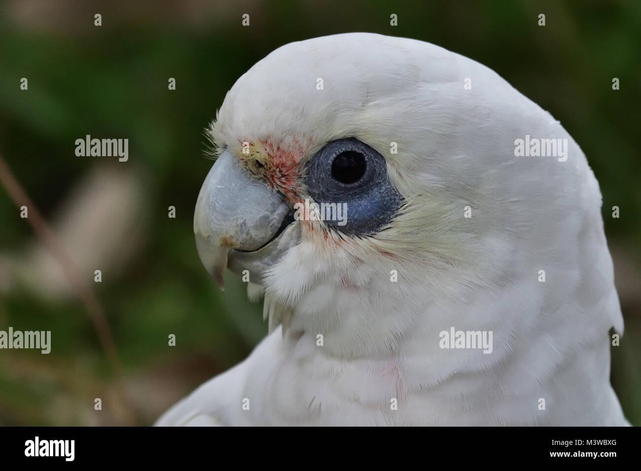 An Australian Little Corella close-up - Stock Image
