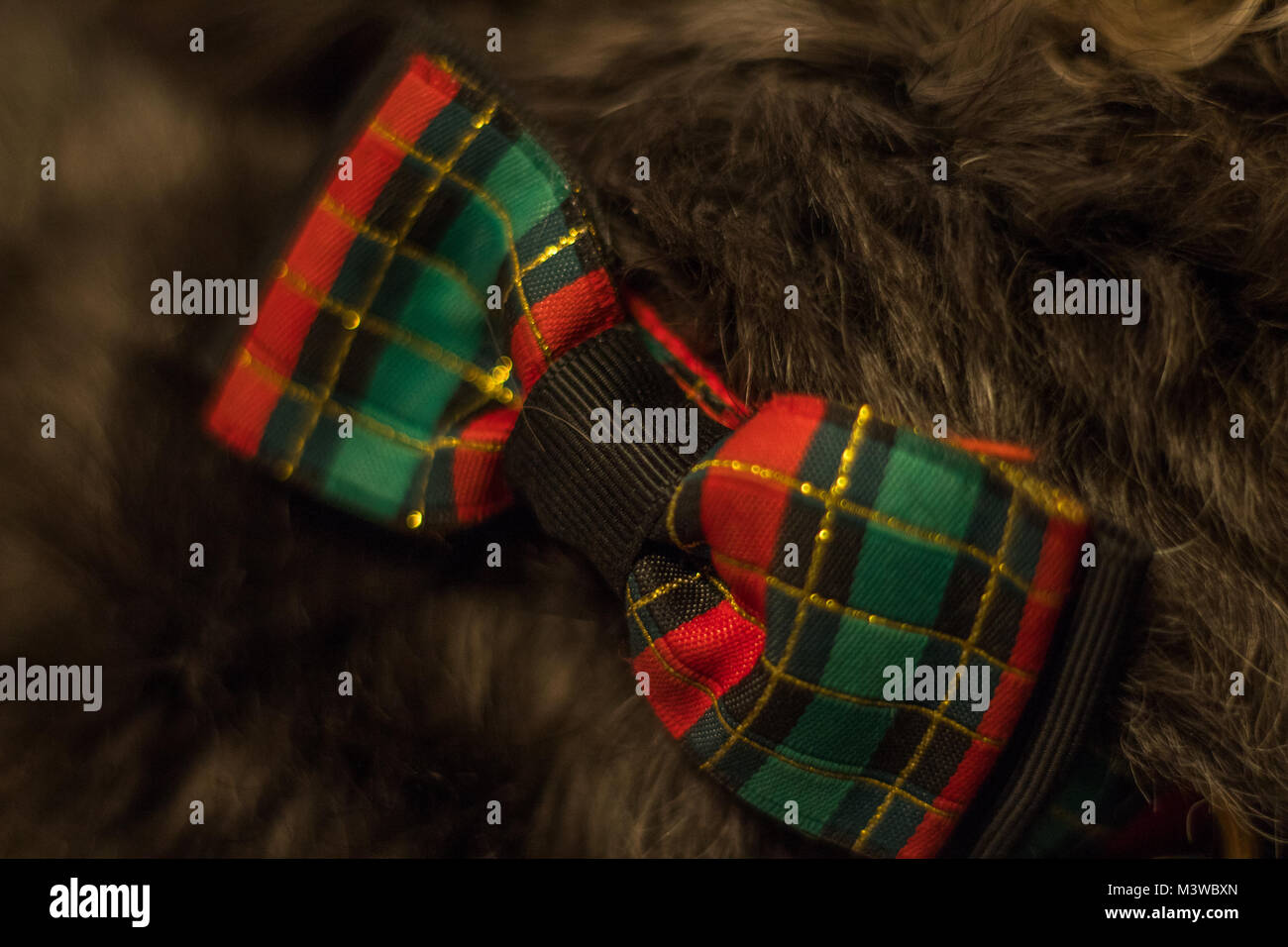 Christmas Dog Collar - Stock Image