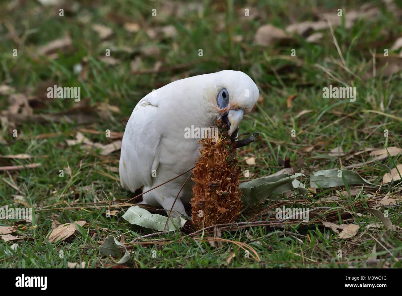 An Australian Little Corella eating a Pine Cone seed Stock Photo