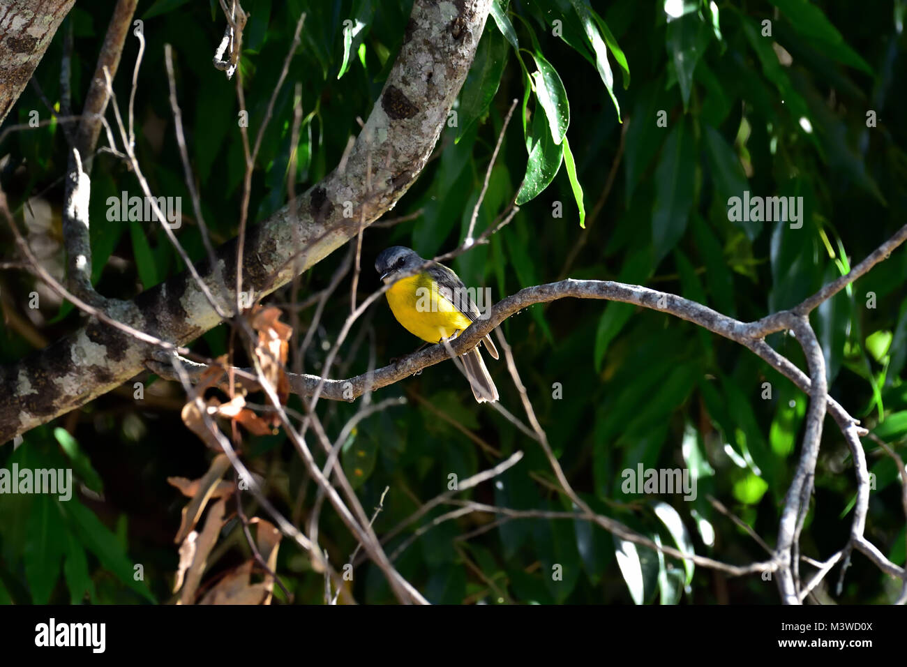 An Australian Eastern Yellow Robin resting on a Tree branch - Stock Image