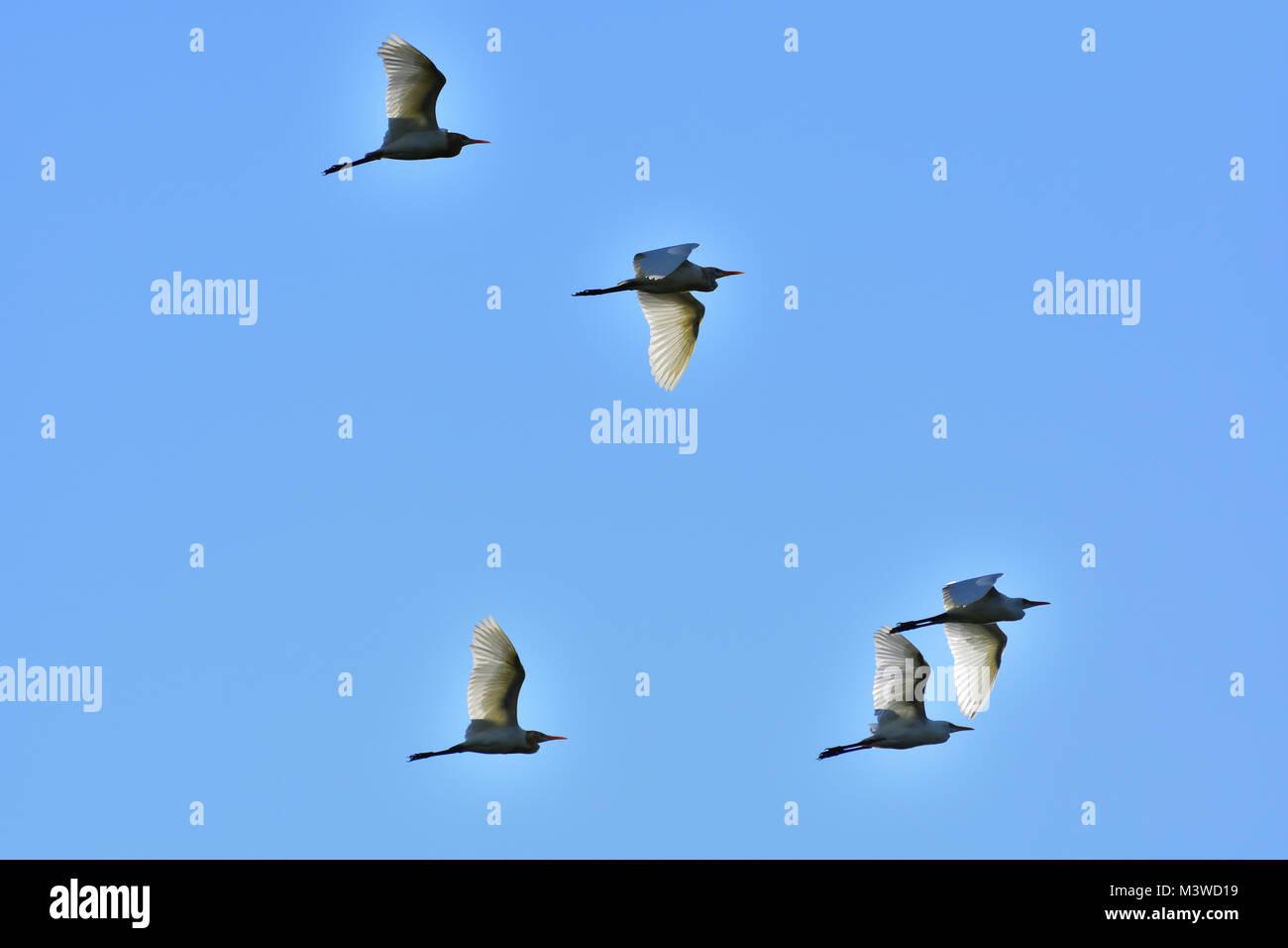 Australian Intermediate Egrets flying - Stock Image