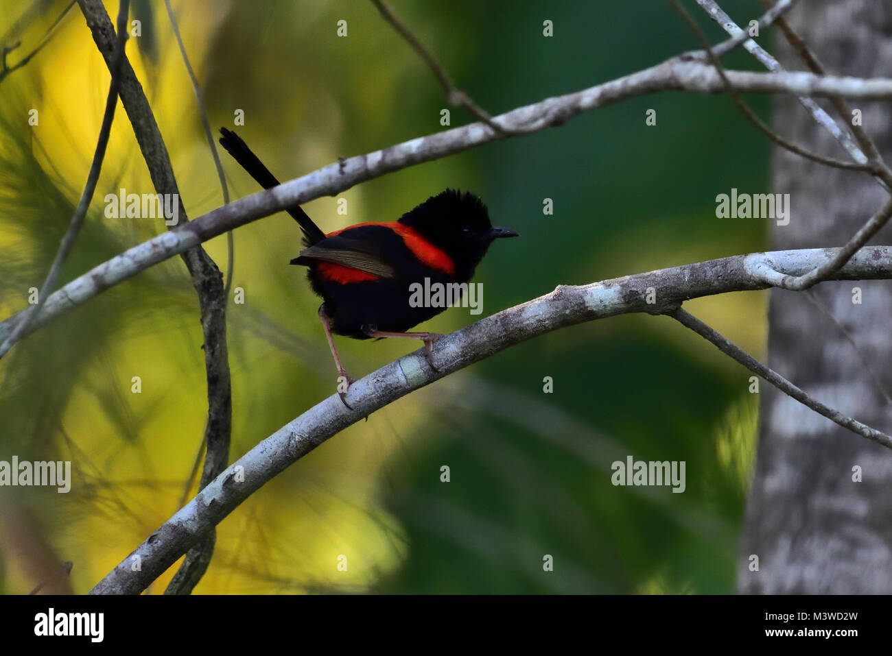 An Australian Male Red-backed Fairy-wren resting on a Tree branch - Stock Image