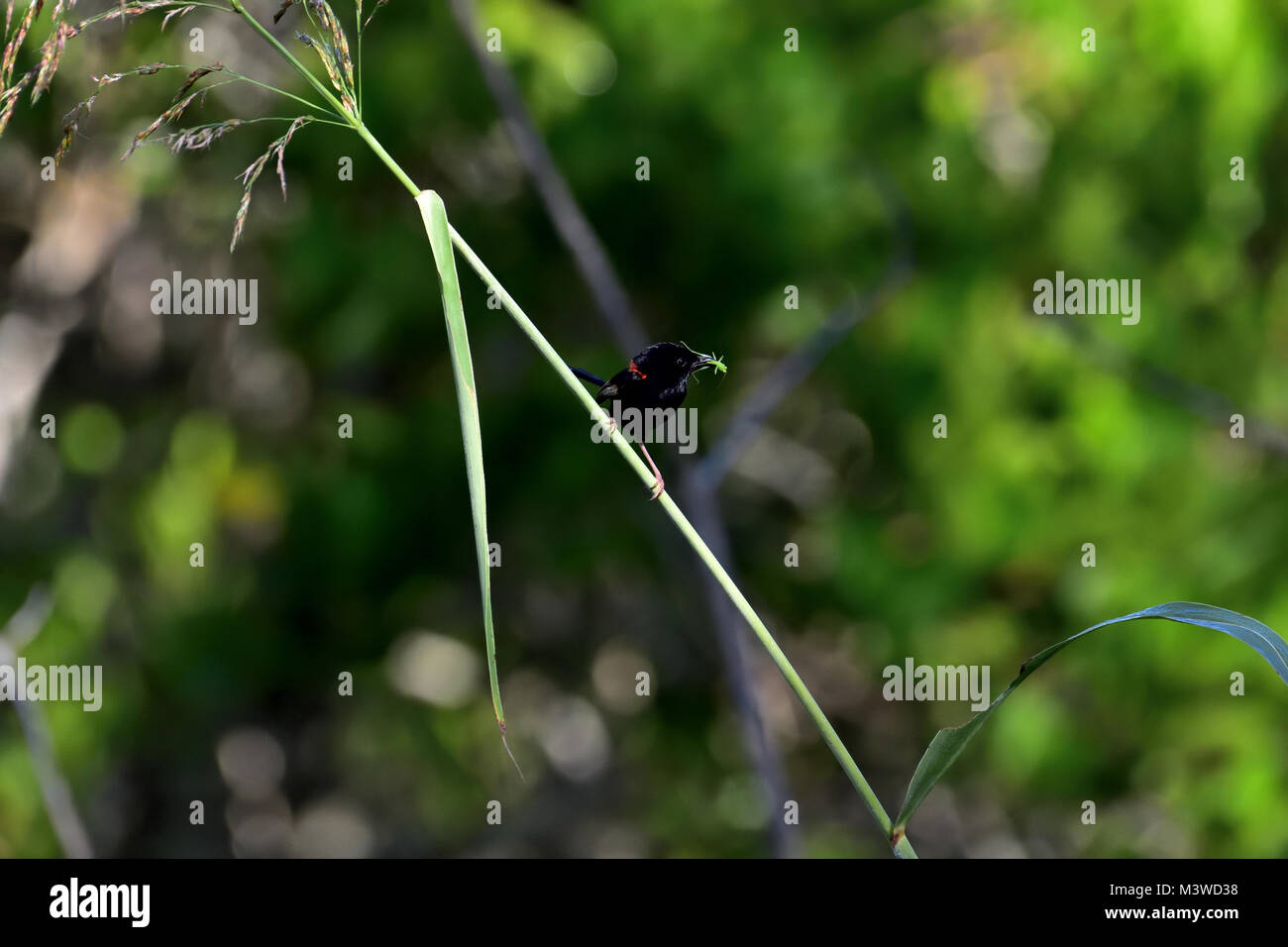 An Australian Male Red-backed Fairy-wren with an Insect in its mouth - Stock Image