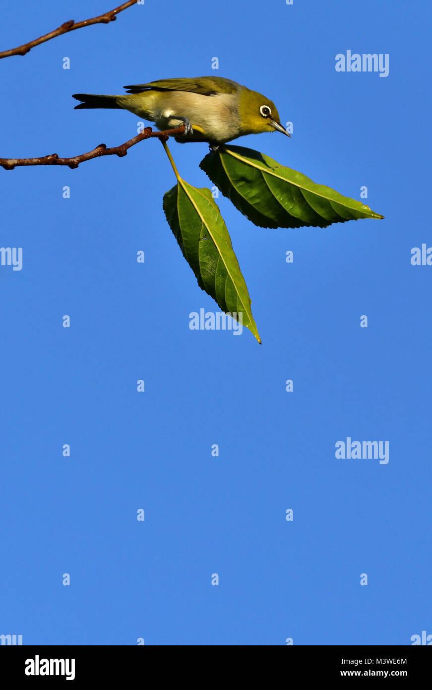 An Australian Silvereye resting on a Tree branch - Stock Image