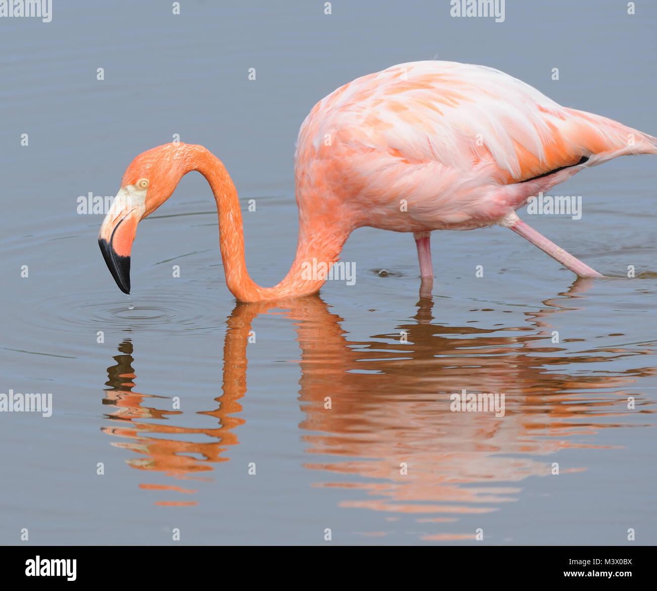 American flamingo (Phoenicopterus ruber) feeding in a lagoon near Puerto Villamil. Puerto Villamil, Isabela, Galapagos, Stock Photo