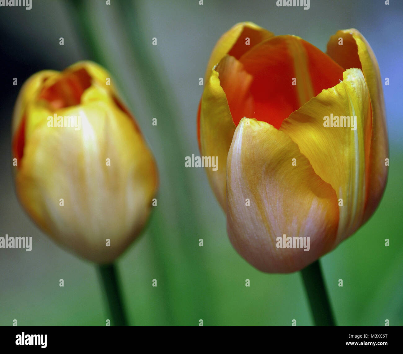 Tulipa 'Apricot Beauty' - Stock Image