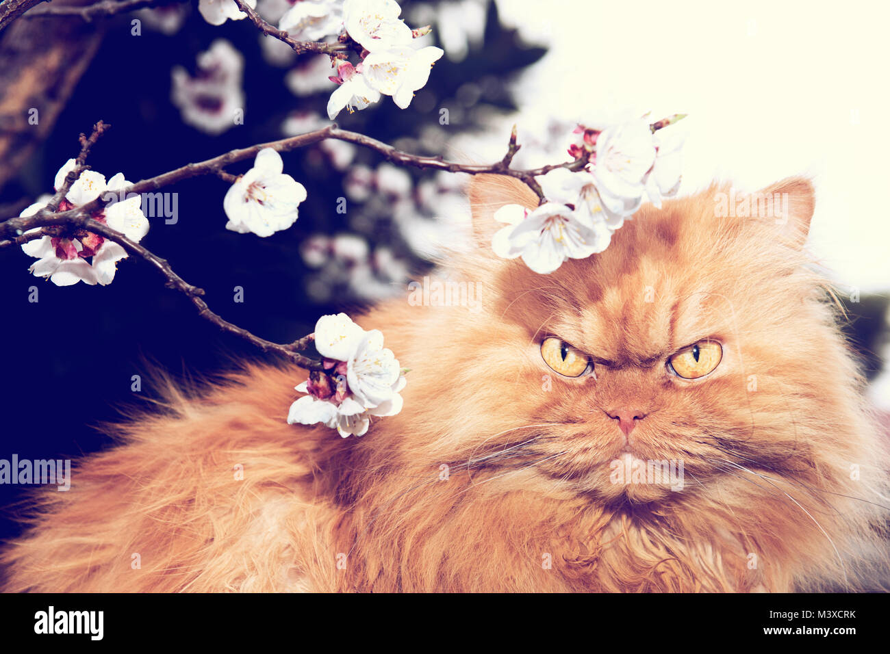 Orange Persian cat with tree blooms in spring - Stock Image