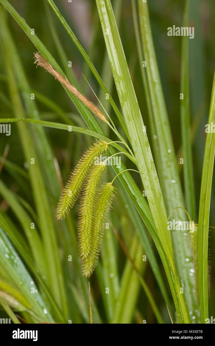 Scheinzypergras-Segge, Scheinzyperngras-Segge, Scheinzyperngras - Segge, Carex pseudocyperus, Cyperus Sedge, Laiche - Stock Image