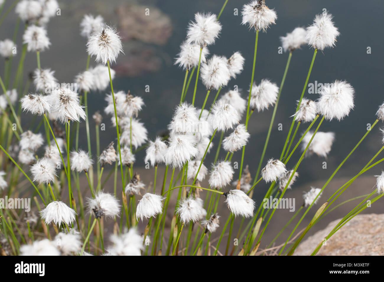 Scheiden-Wollgras, Scheidenwollgras, Moor-Wollgras, Scheidiges Wollgras, Schneiden-Wollgras, Eriophorum vaginatum, - Stock Image