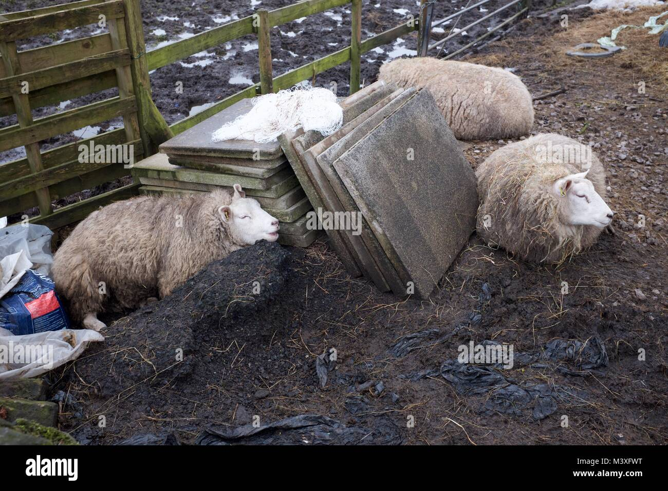 Two sheep in a confined space. in New Mills,  Derbyshire. - Stock Image