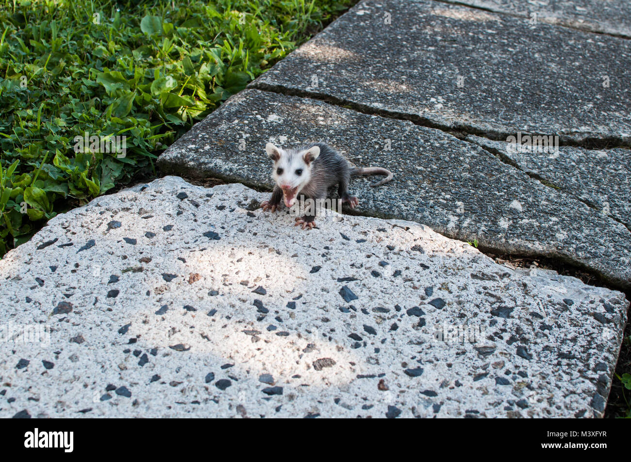 Angry Young Baby Opossum Hissing and Showing Teeth - Stock Image