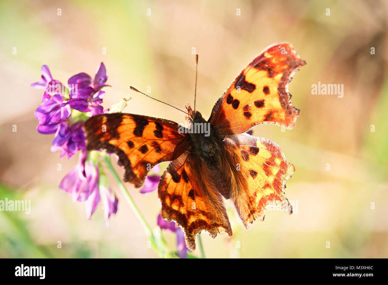 Morning sunlight shines through the wings of a butterfly. - Stock Image