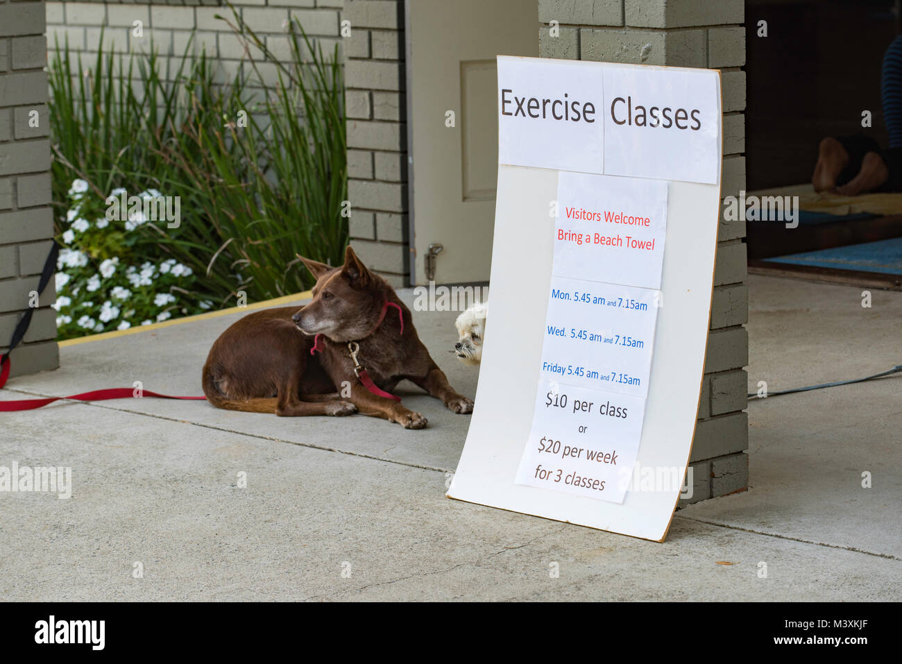 Dogs patiently wait for their owners outside a fitness class at the Scotts Head Surf Life Saving Club in NSW, Australia - Stock Image