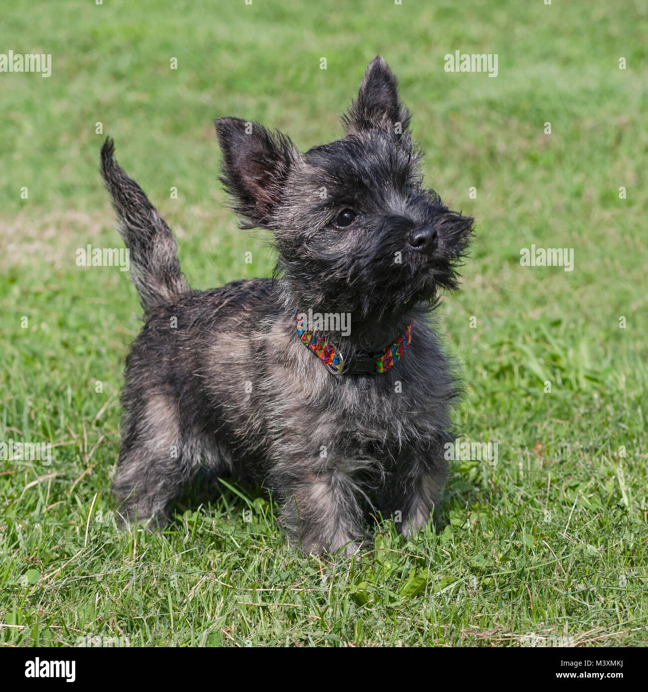 brindle colored cairn terrier puppy posed on a lawn - Stock Image