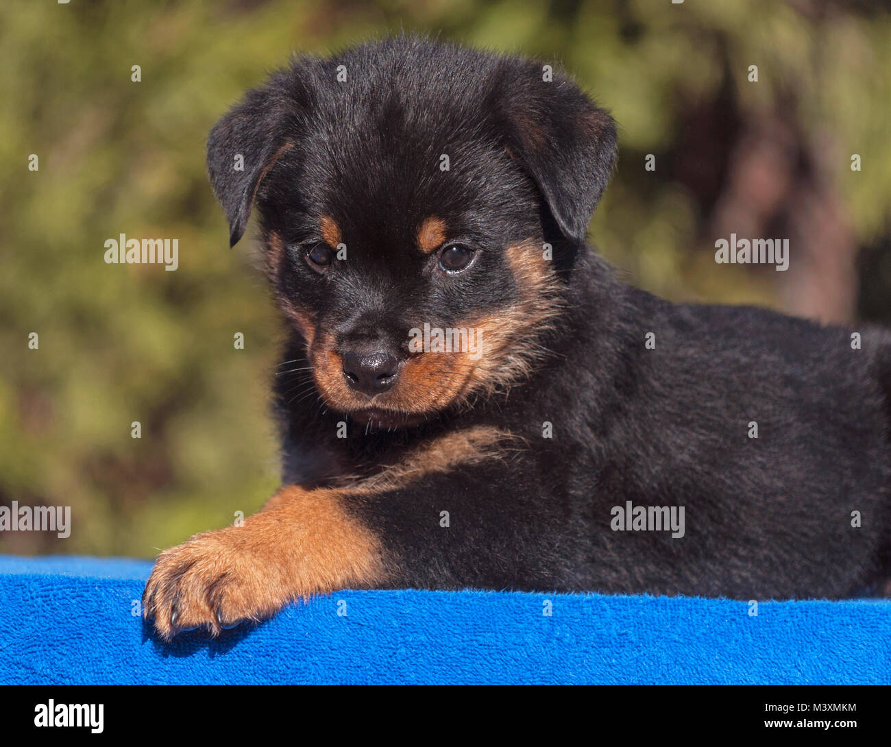 Cute Rottweiler Puppy Lying On A Blue On A Blue Towel Stock Photo