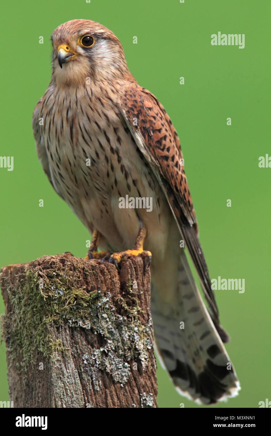 KESTREL (Falco tinnunculus), perched, UK. - Stock Image