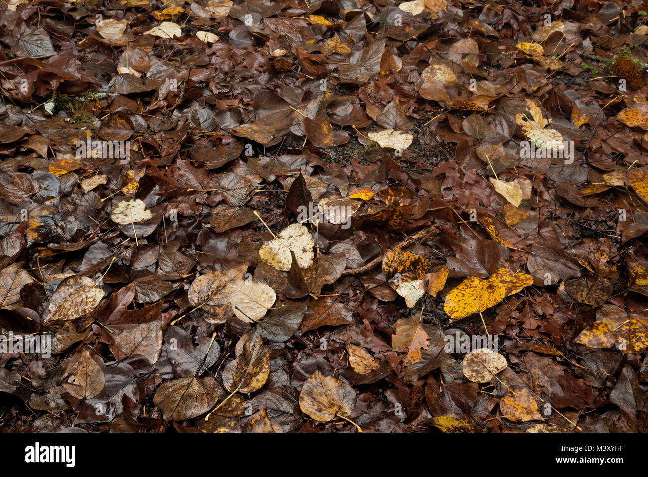 WA13335-00...WASHINGTON - Old leaves on the ground in Graves Creek Campground in Olympic National Park. - Stock Image