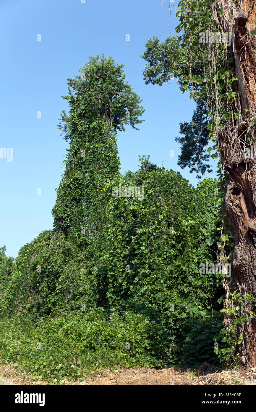 """Kudzu -- """"the vine that ate the south"""" -- blankets roadside foliage including a tall tree on a rural road southwest Stock Photo"""