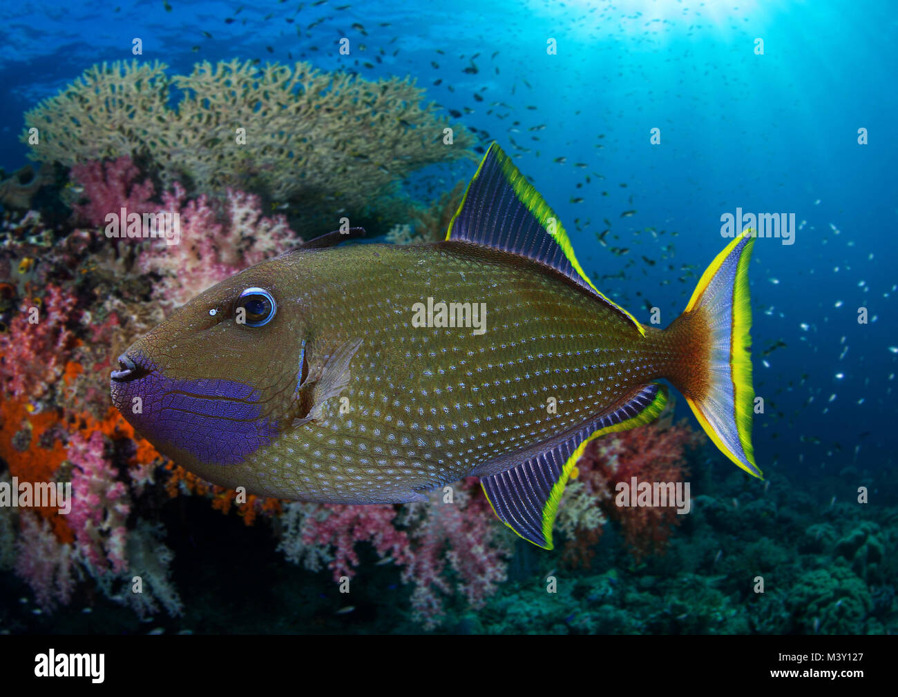 Gilded triggerfish or Blue-throated Triggerfish, Xanthichthys auromarginatus. Mature male swimming on coral reef. - Stock Image