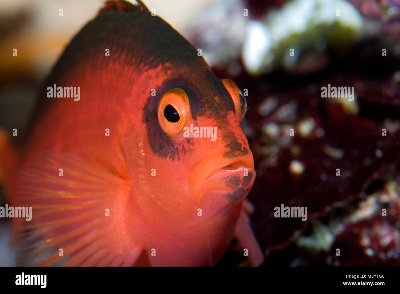 Flame hawkfish, Neocirrhites armatus. Is closely associated with particular corals, however it is not known if this - Stock Image