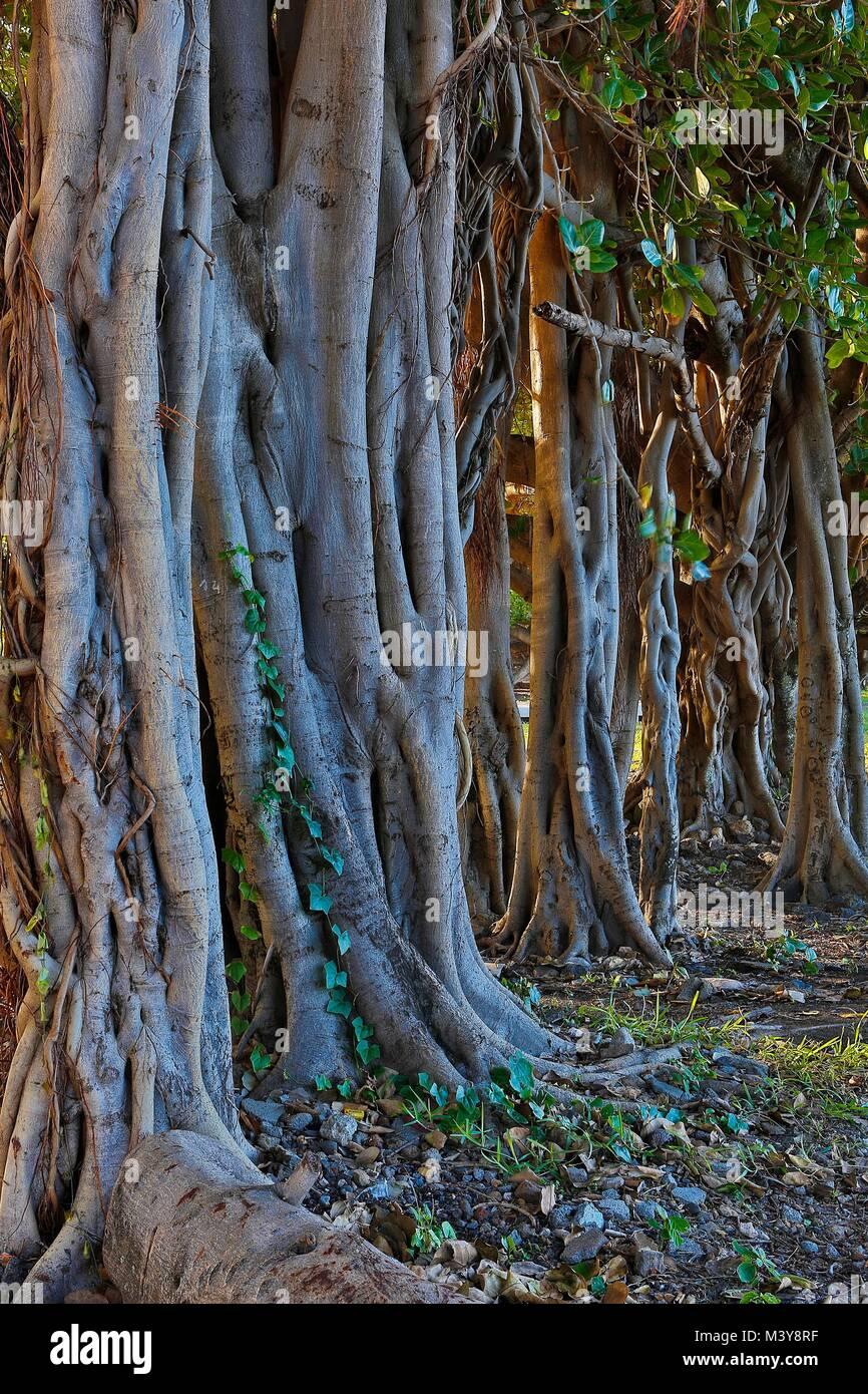 France, Ile de la Reunion (French overseas department), Petit Ile, Grand Bois, tree portrait, trunks and lianas - Stock Image