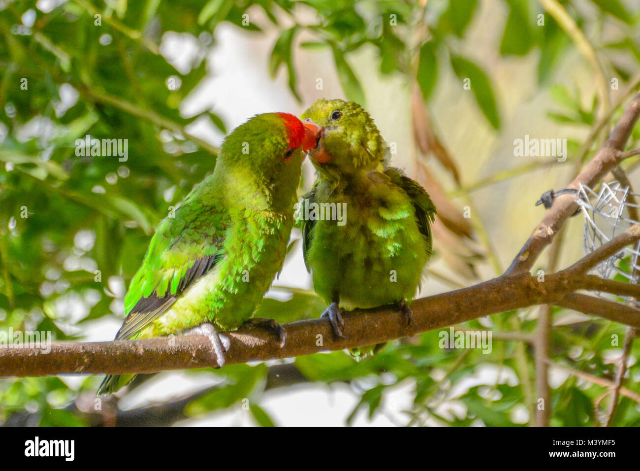 Paradise Park, Hayle, Cornwall. 13th Feb 2018. A pair of Lovebirds cuddle up on a branch while their chick peeks - Stock Image