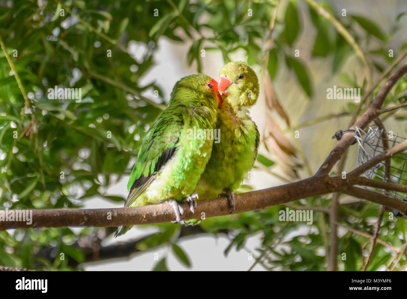Paradise Park, Hayle, Cornwall. 13th Feb 2018. A pair of Lovebirds cuddle up on a branch while their chick peeks Stock Photo