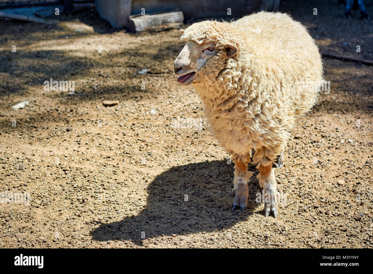 Sheep bleating in the corral on a farm - Stock Image
