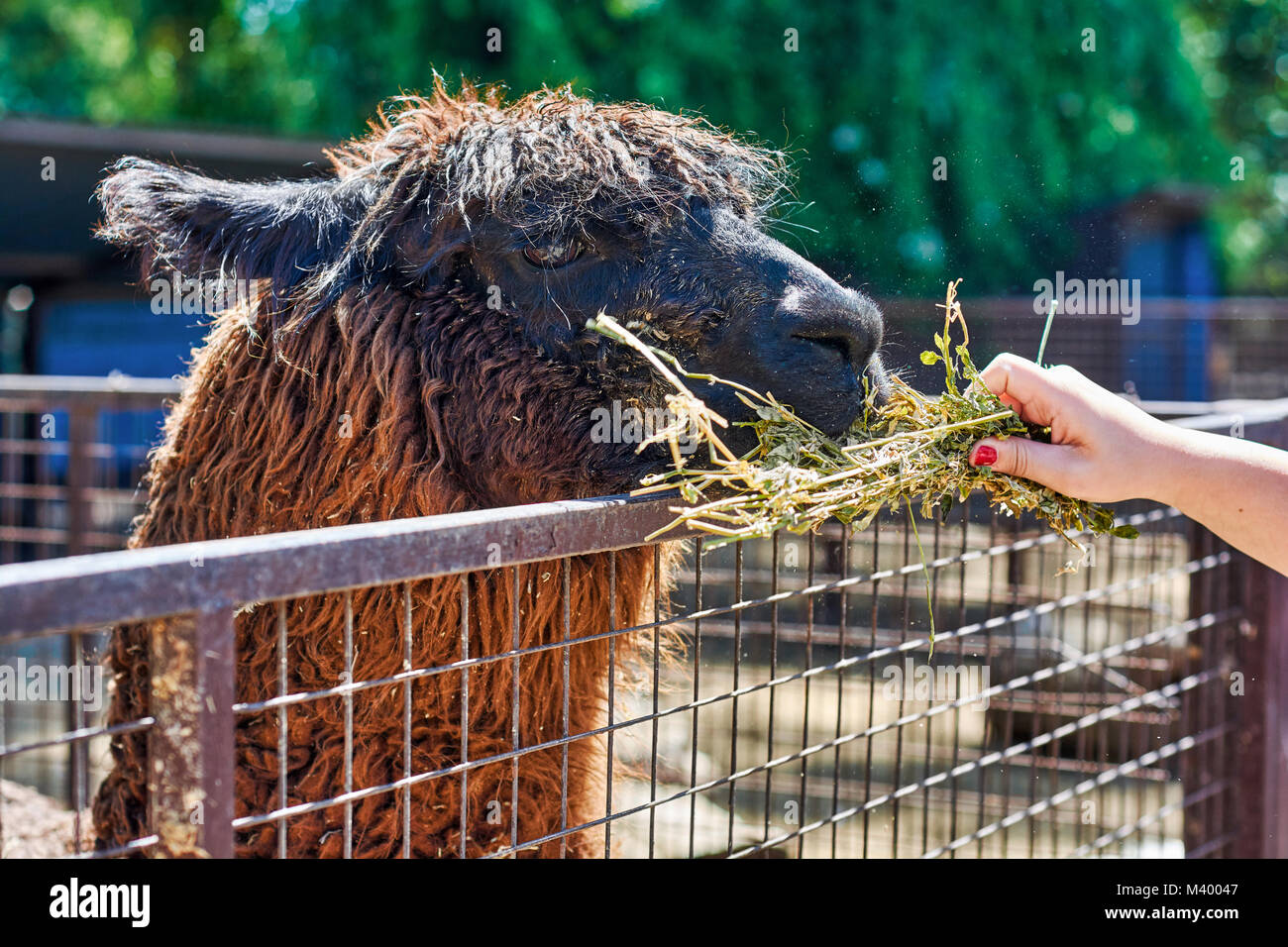 Cute llama in the corral being fed by a person during a visit to a farm in Argentina. - Stock Image