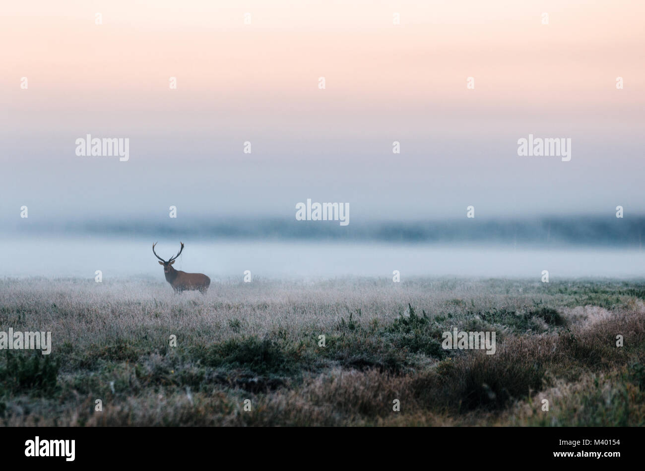 Beautiful red deer stag on the snowy field near the foggy misty forest landscape in autumn in Belarus. - Stock Image