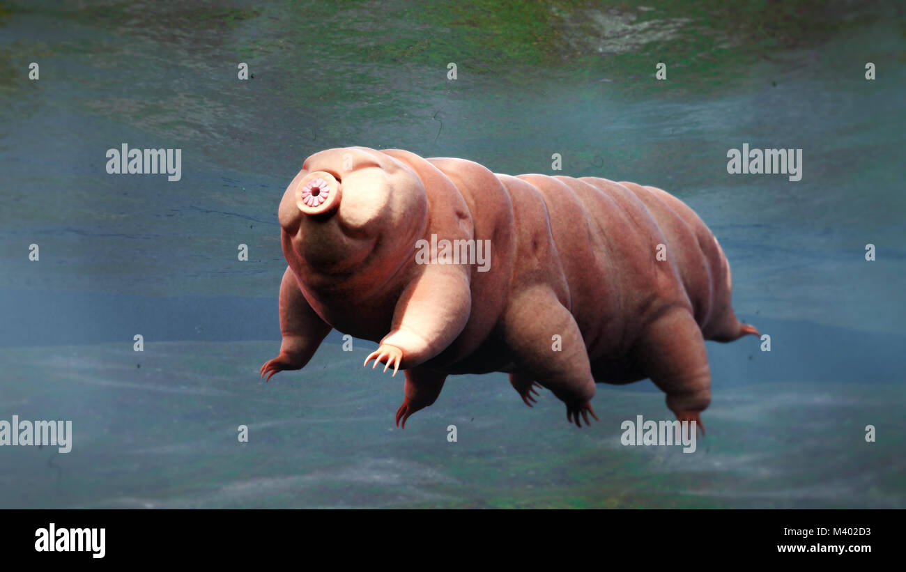 tardigrade, swimming water bear - Stock Image