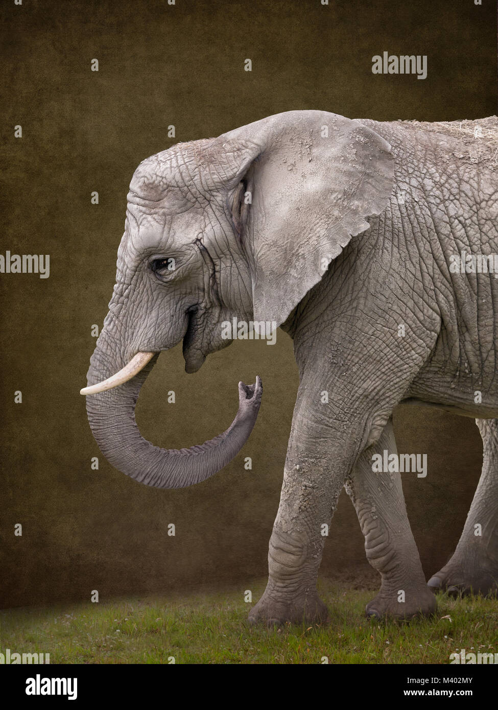 Elephant for digital composites suitable for baby photoshop - Stock Image