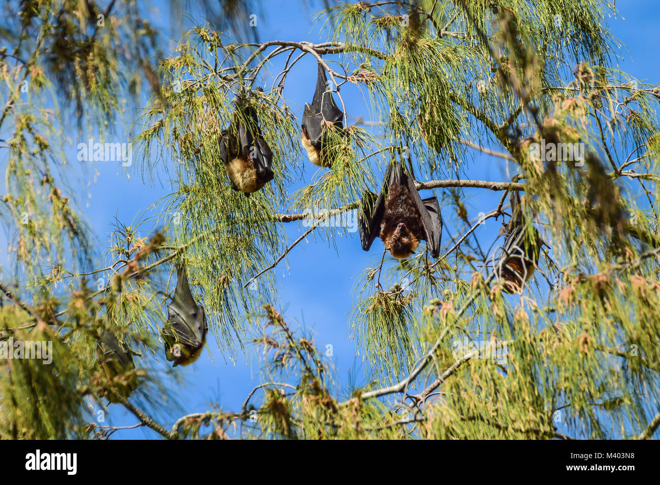 Pacific flying fox roost sleeping upside down in a tree during the day - Stock Image