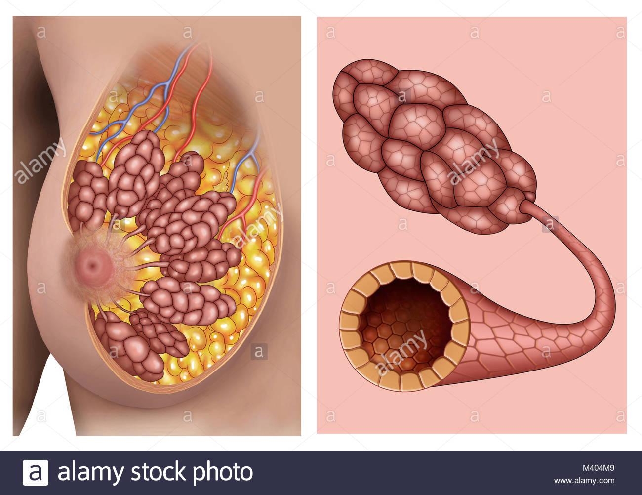 Anatomia de los pechos de mujer, en la que se puede ver claramente ...