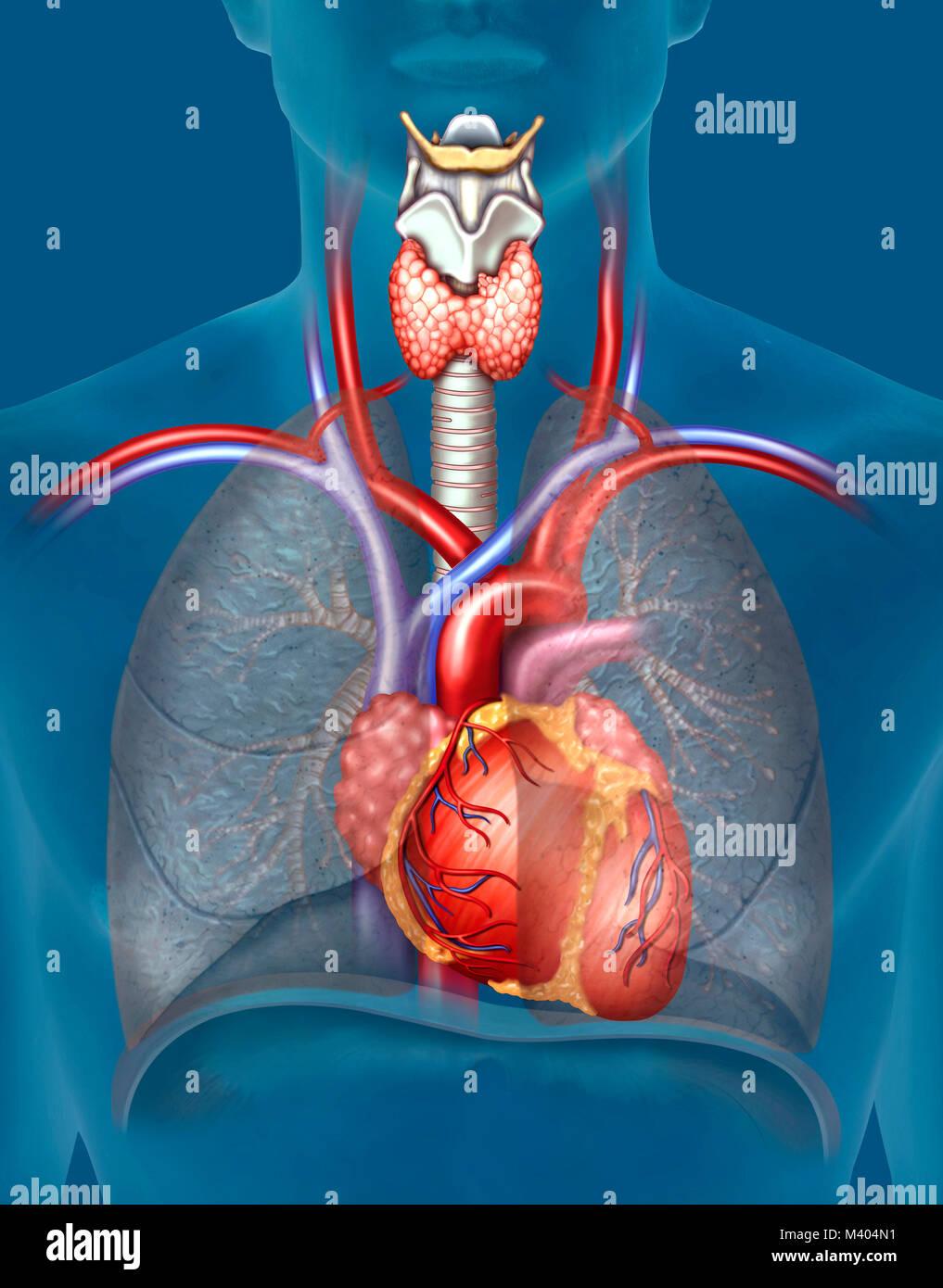 El aparato cardiovascular, capaz de distribuir el oxígeno a través del bombeo de la sangre y canalización - Stock Image