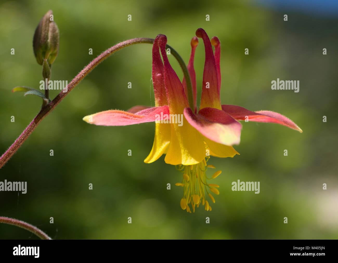 Western Columbine Flower Stock Photos Western Columbine Flower