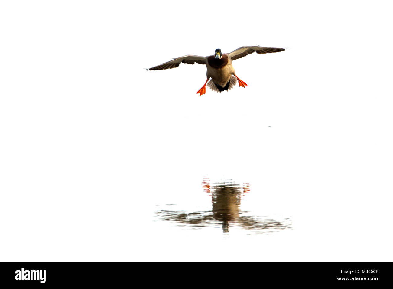 Mallard Duck (Anas platyrhynchos) Male, with Reflection - Stock Image