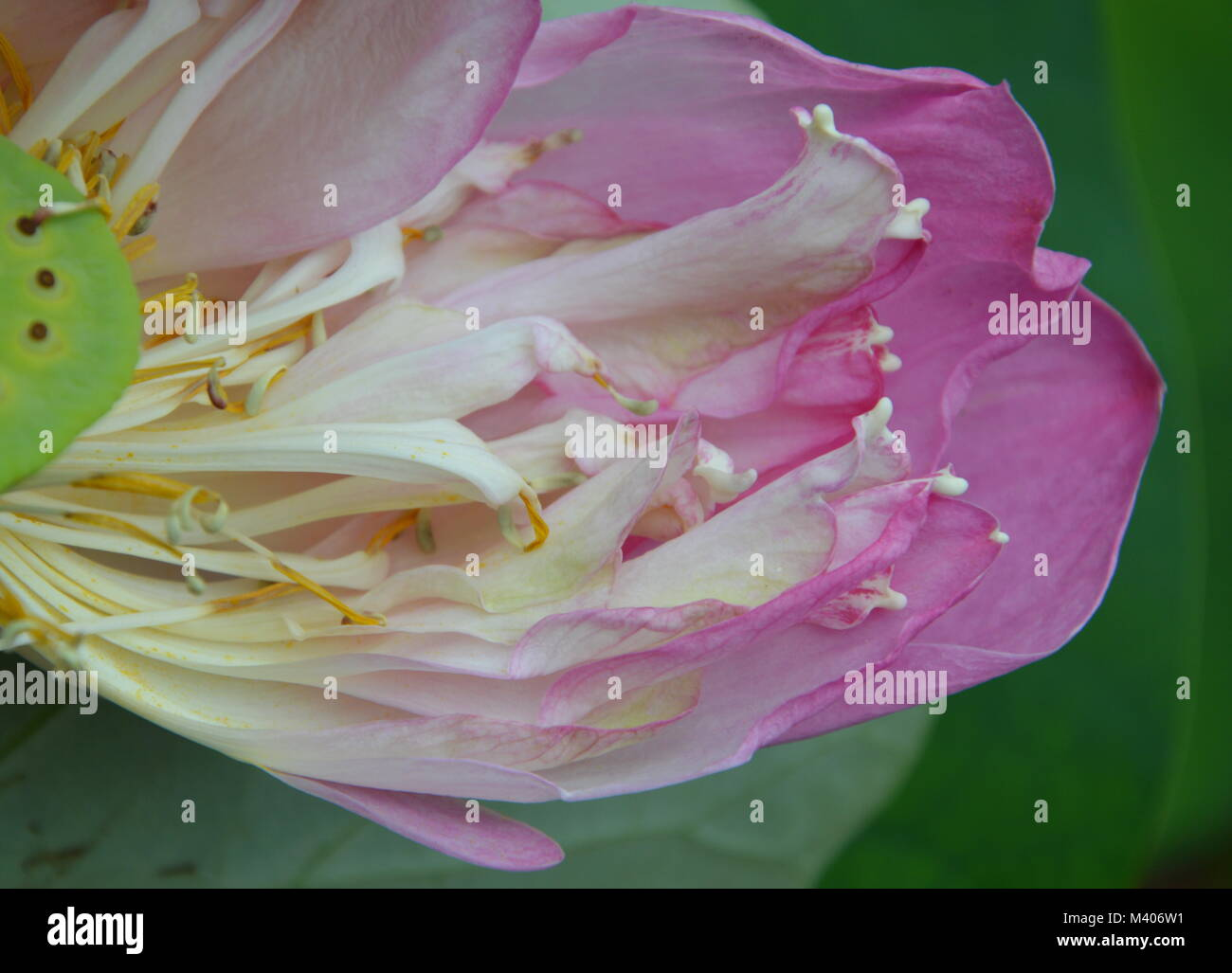 indian lotus water lily flower blooming in garden stock photo