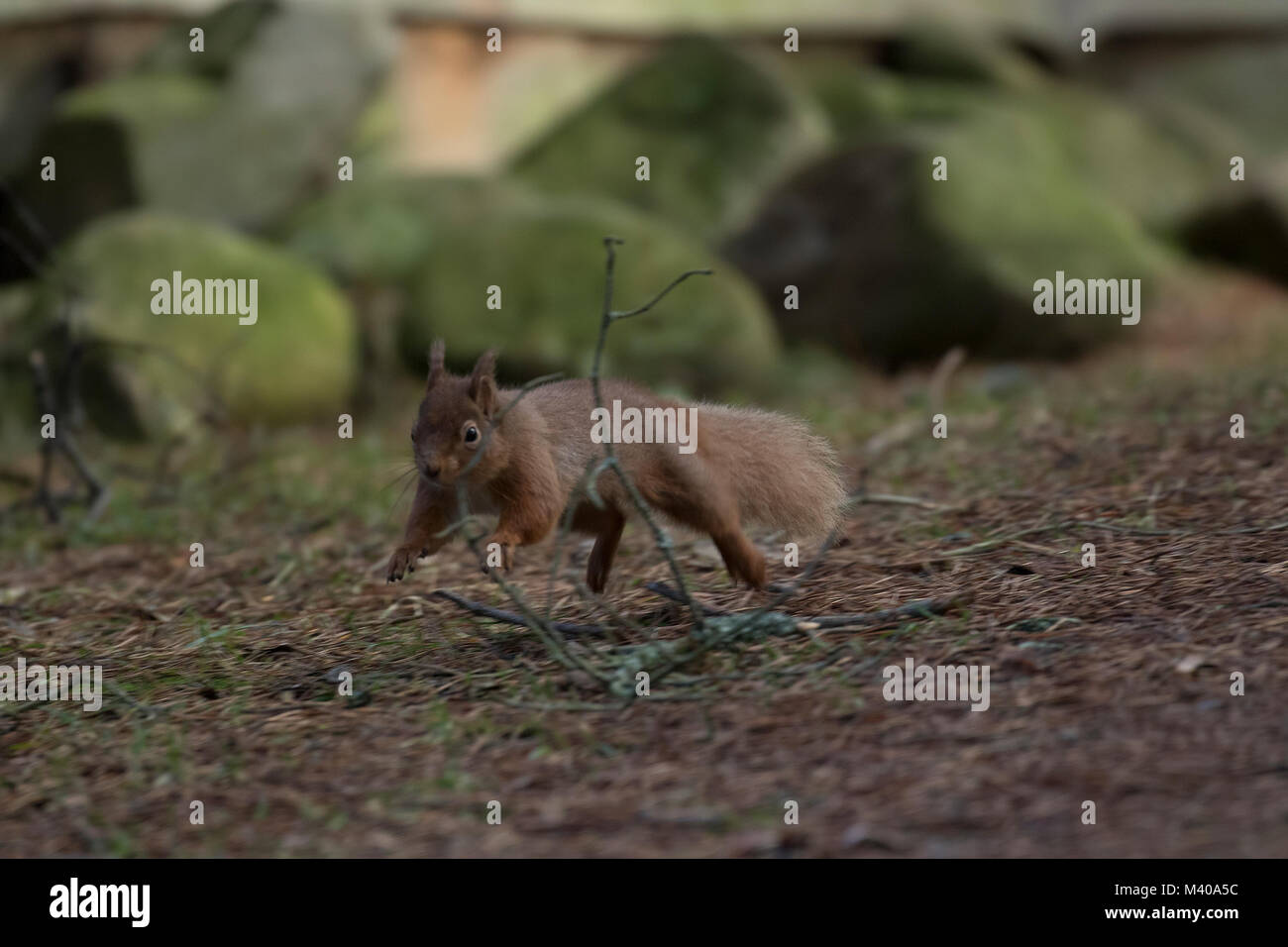 red squirrel, Sciurus vulgaris, wild running, sitting, leaping, in pine trees, ground in winter, cairngorm national - Stock Image