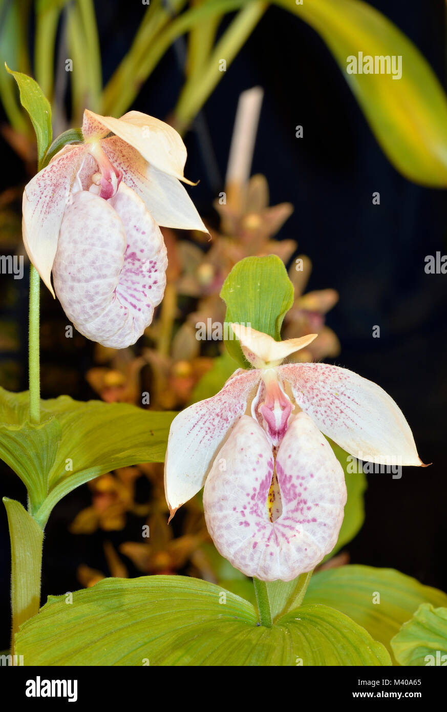 Pink And White Lady Slipper Stock Photos Pink And White Lady