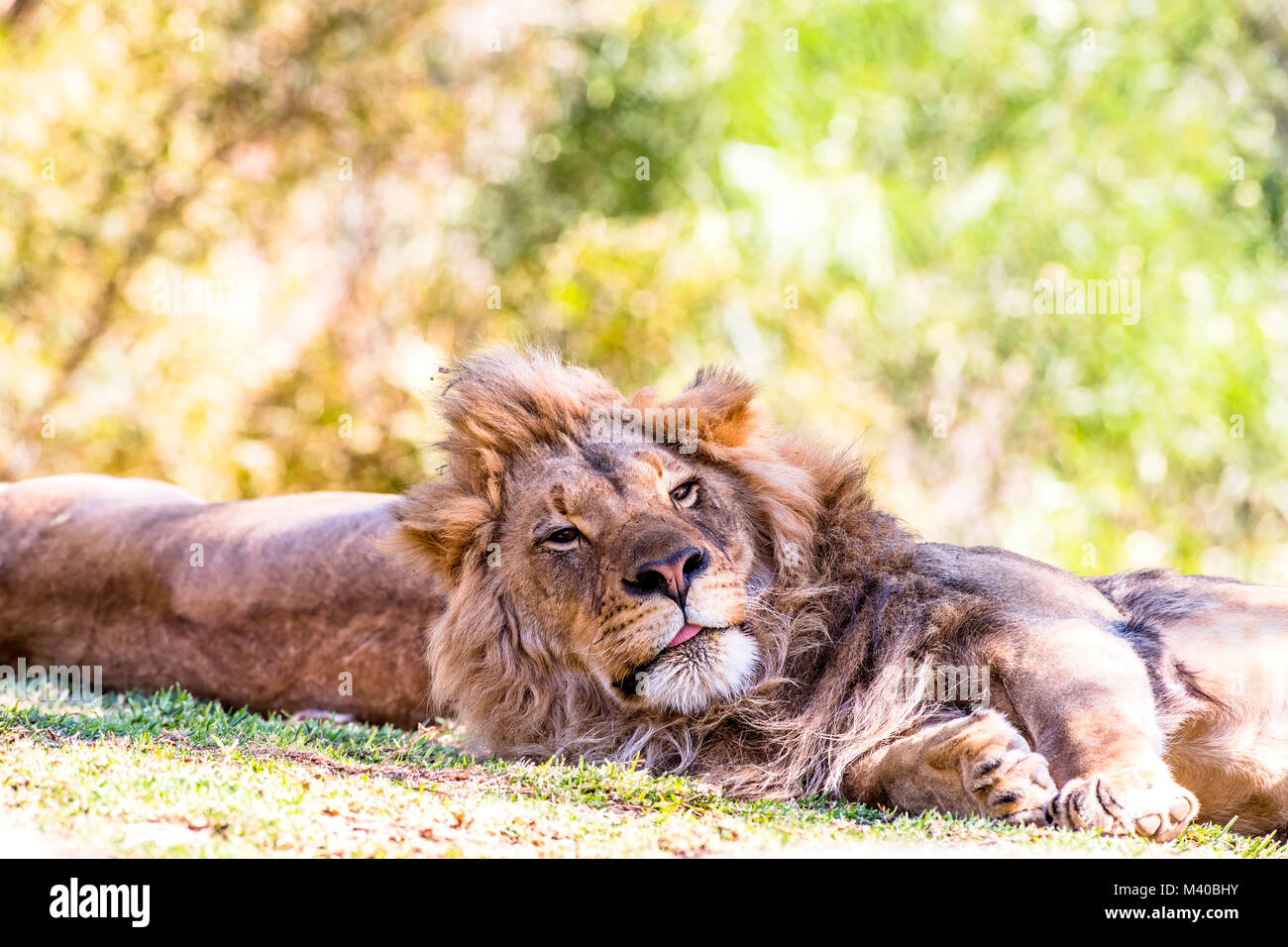 A lion rests while peering up to scan the area for intruders. - Stock Image