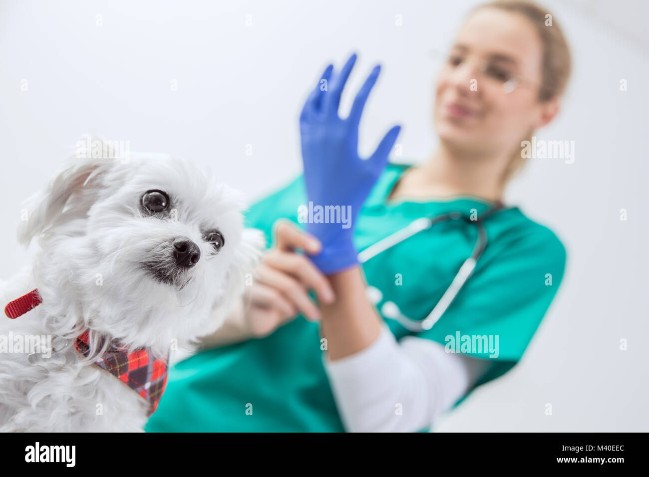 Dog scared before traumatic examination by a female vet - Stock Image