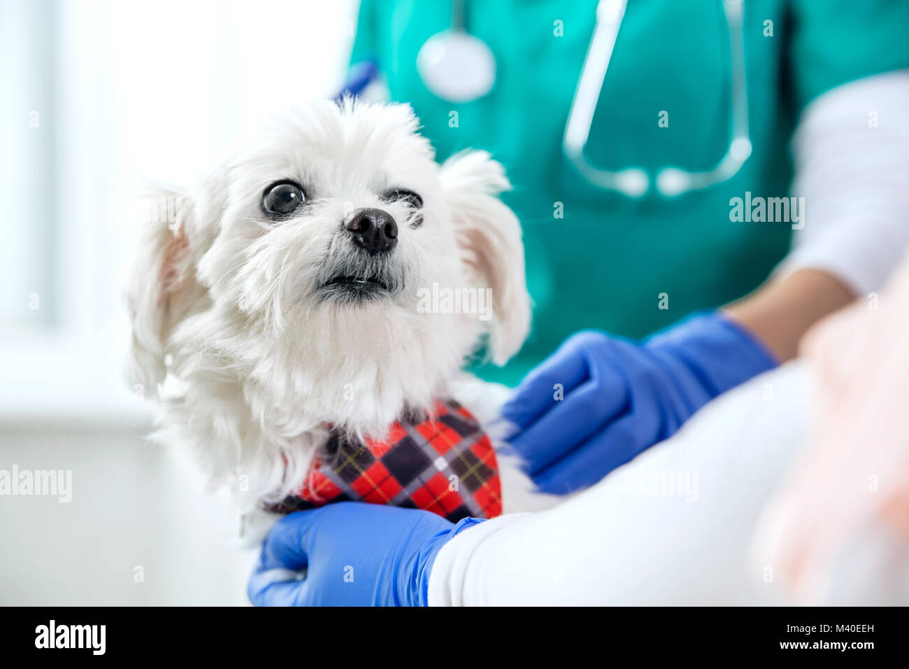 White maltese and two people during vet examination - Stock Image