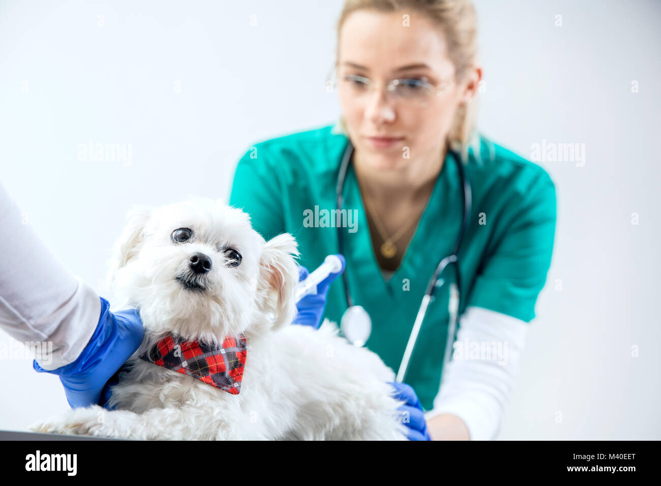 The dog gets an injection by vet - Stock Image